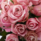 Roos Pink Avalanche Large bloemen