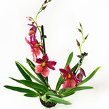 Cambria Nelly Isler orchidee