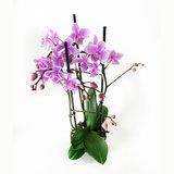 Phalaenopsis Multiflora Rosanna Orchidee