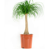 Olifantspoot plant