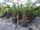 Phoenix canariensis palmboom