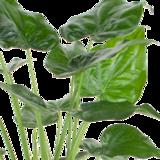 Alocasia Cucullata (Alocasia Cucullata)_