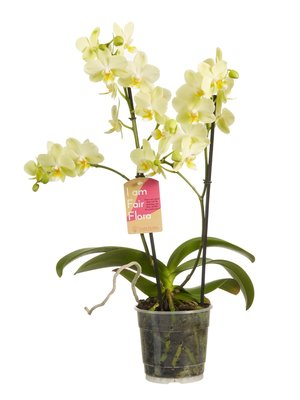 Phalaenopsis multiflora yellow