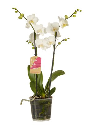 Phalaenopsis multiflora white