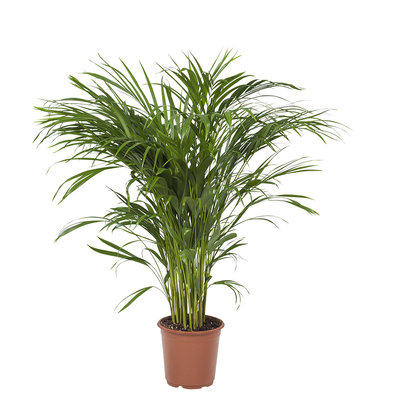 Areca / Dypsis Palm