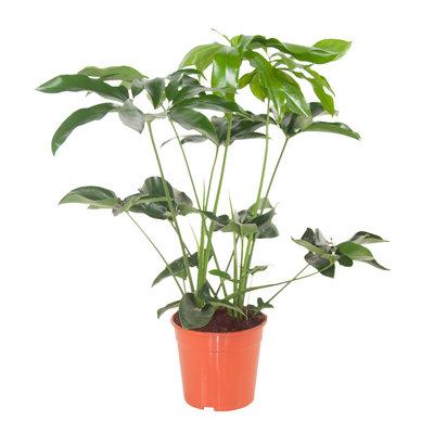 Philodendron Green Wonder (Philodendron Green Wonder)