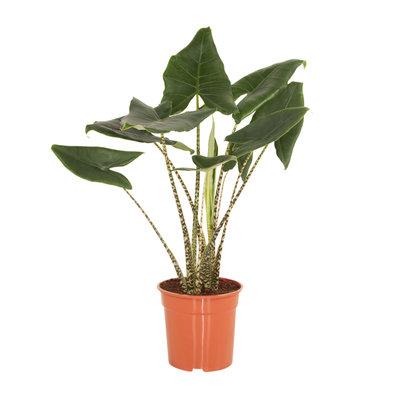 Alocasia Zebrina (Alocasia Zebrina)