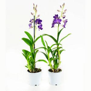 Dendrobium Sa-nook Blue Happiness