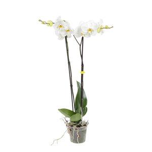 Witte orchidee Grandi Flora