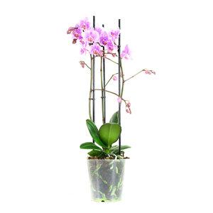 Phalaenopsis Multiflora Rosanna