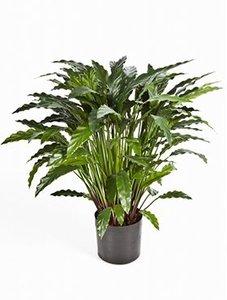Calathea green