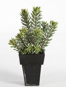 Sedum cluster plant